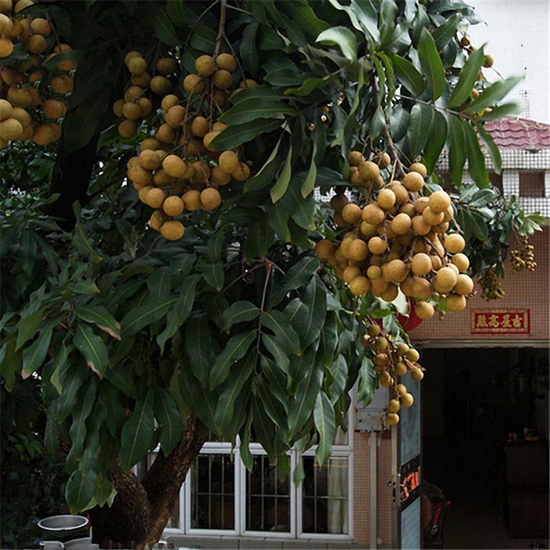 TENGGO Egrow 4pcs//Bolsa Longan Semillas Live DragonS Eye Ex/ótico Longan Dimocarpus Sweet Tropical Fruit Tree Semillas