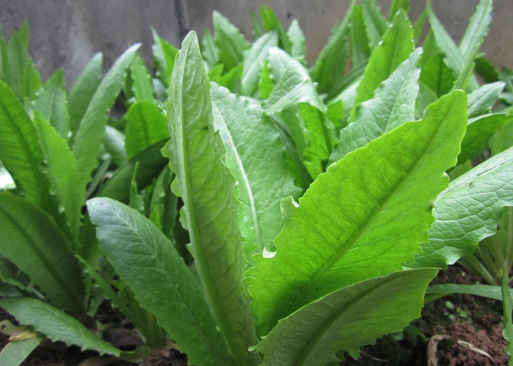 lettuce vegetable seed