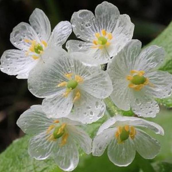 10шт японский цветок лотоса Семена белый лепесток цветка с дождем превращается в прозрачный кристалл бонсай