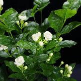 Egrow 100 Pcs/Pack Arabian Jasmine Bonsai Seeds Flower for Home Garden plant