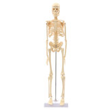 Mini Detachable Human Skeleton Bone Model Removable Arms Legs w Metal Stand Anatomical Medical Model
