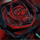 Egrow 100Pçs Sementes de Rosa Preta com Borda Vermelha Rosa Jardim Bonsai Sementes