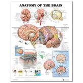 60x80cm Anatomie van de hersenen Poster Anatomische zijden doek Grafiek Human Body Midcal Educatief Decor