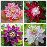 Egrow 50 Pcs / Pack Passion Fleur Graines Jardin Rare Passiflora Incarnata Fruits Plantes Graines