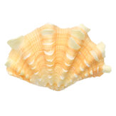 Home Decor Furnishing Marine Sea Shell Decorations Giant Clam Tridacna Big Conch Natural Shell