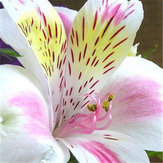 Egrow 100PCS/Pack Lily Seeds Peruvian Lily Alstroemeria Bonsai Plants Beautiful Lily Flower For Home & Garden Decoration