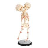 ضعف رئيس تشريح الطفل جمجمة الهيكل العظمي تشريحي الدماغ تشريح التعليم الطبي نموذج