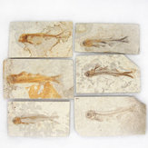 Lycoptera Davidi plate specimen Jurassic to Cretaceous Real Fish Fossil China Decorations