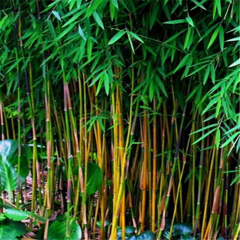 Egrow 20 Pcs / Bag Hitam Bambu Benih Langka Raksasa Hitam Moso Bambu Bambu Biji Profesional Pack Bambusa Lako Pohon Benih untuk Taman Rumah