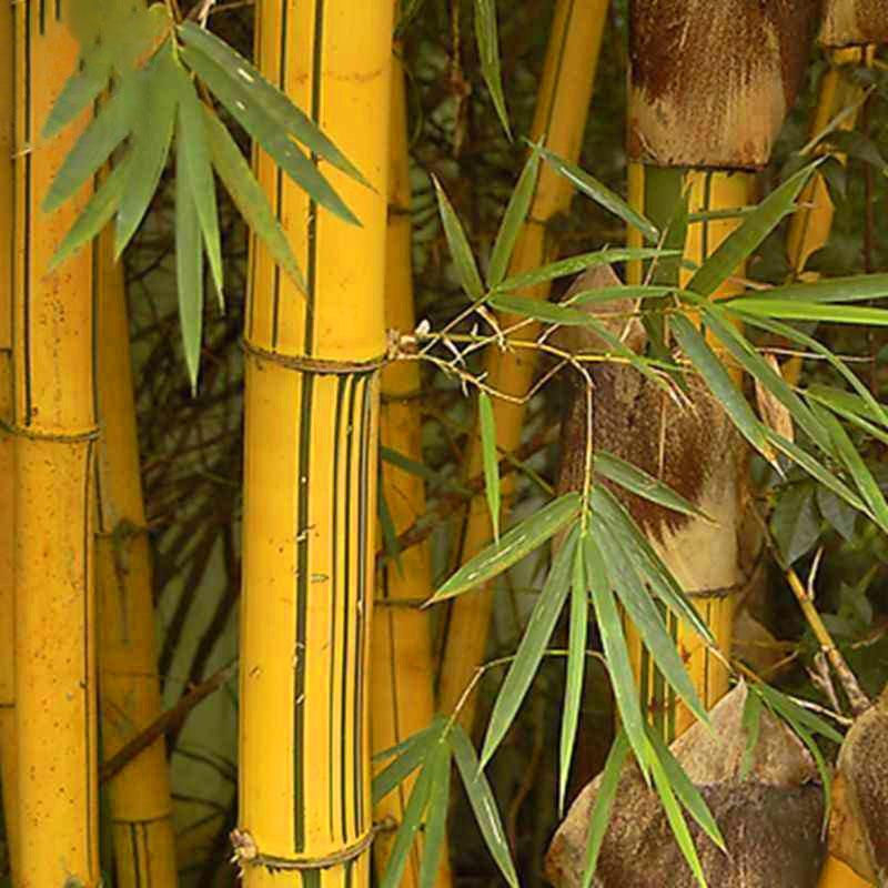 Egrow 50 pcs / Bag Emas Bambu Biji Sementes Baru Langka Emas Bambu Pohon Benih untuk Taman Rumah DIY Tanaman Biji Langka Kualitas Bambu