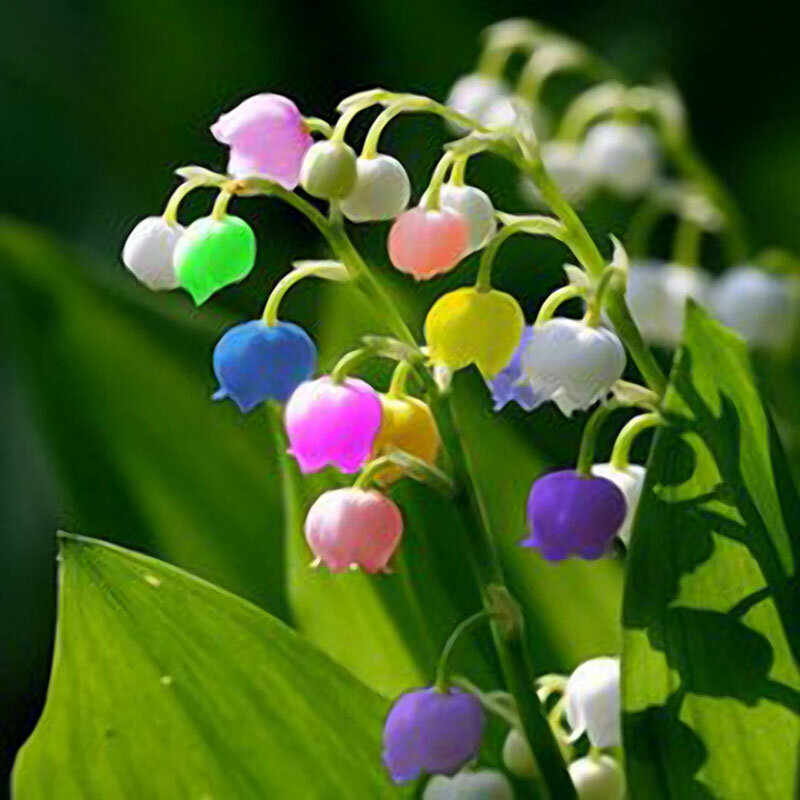 Egrow 50 Pcs Rare Lily Of Valley Flower Seeds Colored Rainbow Bell