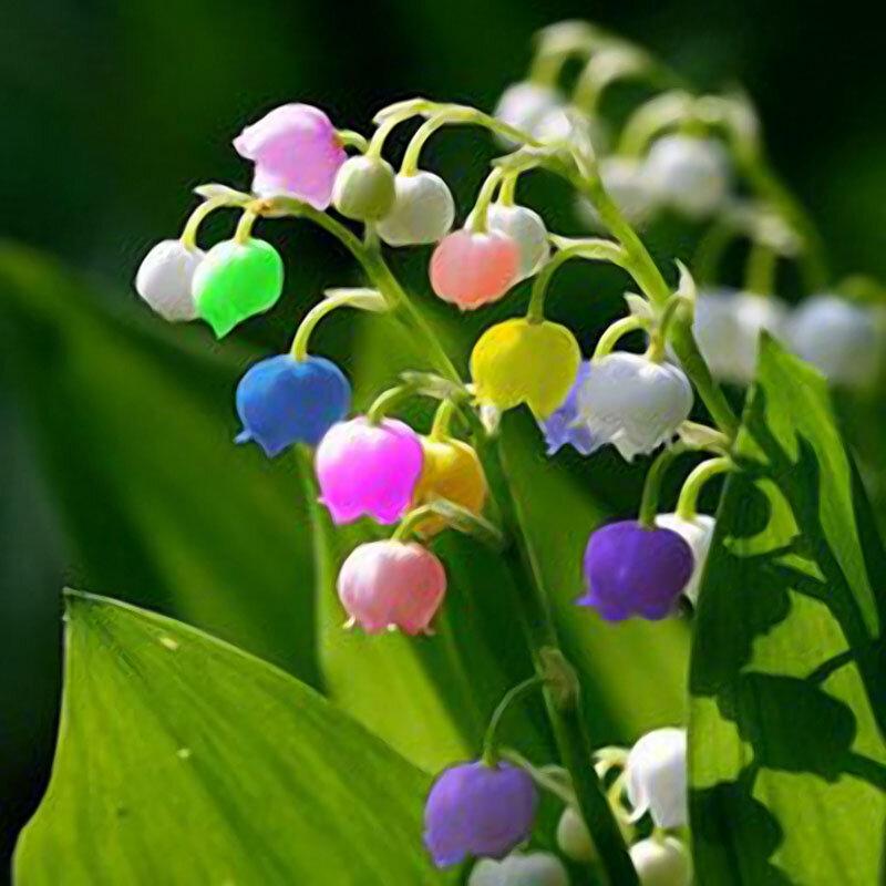 Egrow 50 PC Rare Zambak Çiçek Tohumlar Renkli Gökkuşağı Bell Orkide Tohum Bahçe Bonsai