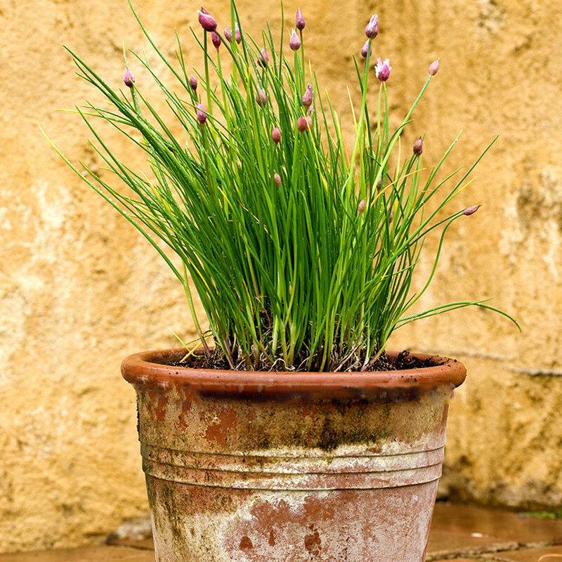 Egrow 100 Pcs/Pack Chives Seeds Allium Schoenoprasum Bonsai for Home Garden Plant  - buy with discount