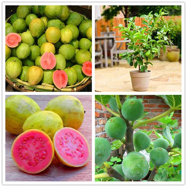 Egrow 30 Unidades / pacote Guava sementes Tropical Doce Fruit Tree Plants Sementes para Jardim Varanda Pátio