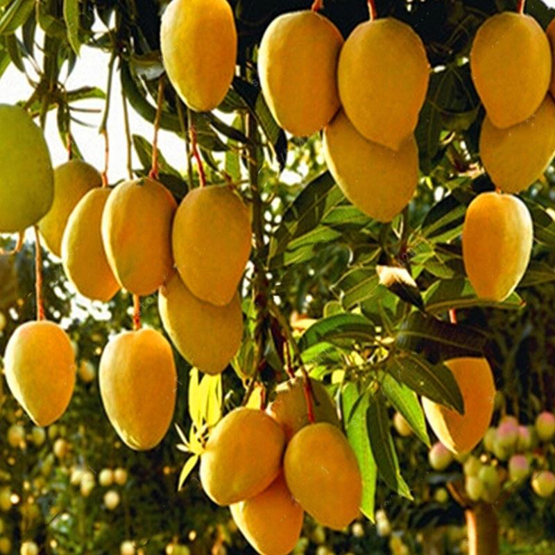 Egrow 1pc Edible Mango Fruit Seeds Garden Courtyard Outdoor Plants