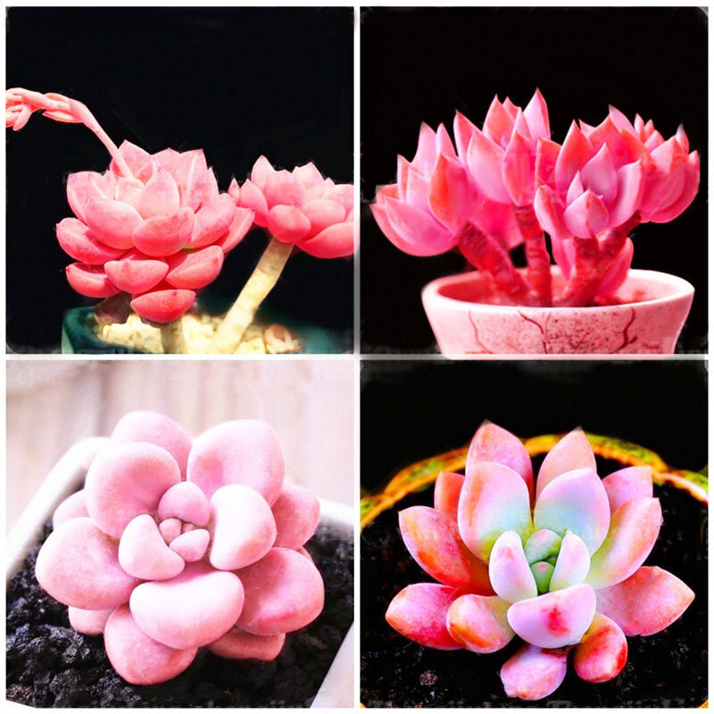 Egrow 100Pcs/Pack Pink Succlents Seeds DIY Plant Bonsai Potted Flowers for Home Garden Courtyard