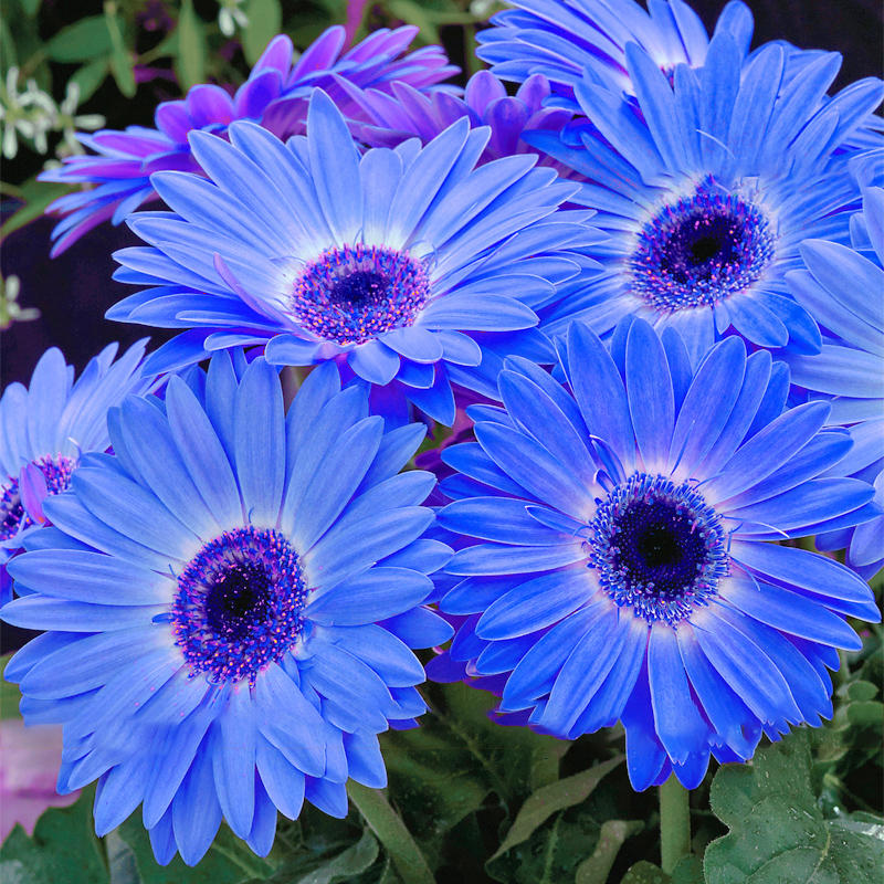 65e8fc89d egrow 100pcs/pack gerbera daisy seeds majorette blue halo fragrant bellis  flower seeds at Banggood