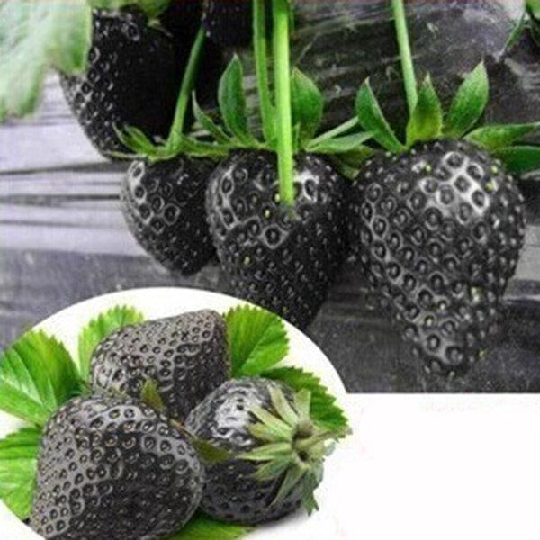 500Pcs Black Strawberry Semillas Garden Fruit