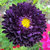 Egrow 100 Pcs/Pack Callistephus Seeds  Aster Bonsai Home Garden Decoration Flower Big Flowers