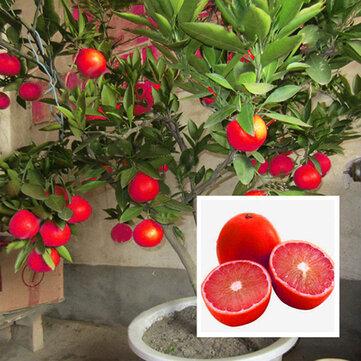 Egrow 20 Pcs/Pack Red Color Lemon Seeds Drawf Tree Bonsai Organic Fruit Seed Home Garden Plants