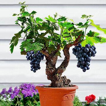 Egrow 50 Sztuk / paczka Winogron Winogron Nasiona Organiczne Odkryty Słodkie Owoce Soczyste Rośliny Kryty Bonsai