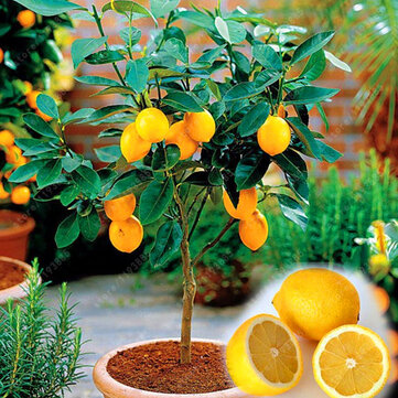 Egrow 20 Pcs/Pack Edible Yellow Lemon Seed Citrus Bonsai Home Garden Fresh Lemon Fruit Tree Seeds