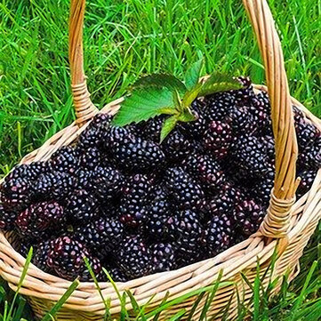 Egrow 200 pcs Blackberry Fruit Seeds Home Garden Plantting Perennial Potted Sweet Fruit Seed