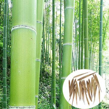Egrow 100 Khu vườn thường xanh Arbor Moso Hạt tre Sân Phyllostachys Pubescens Cây